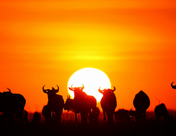 美油飙升逾10%!分析师欢呼:末日没来太阳又升起!